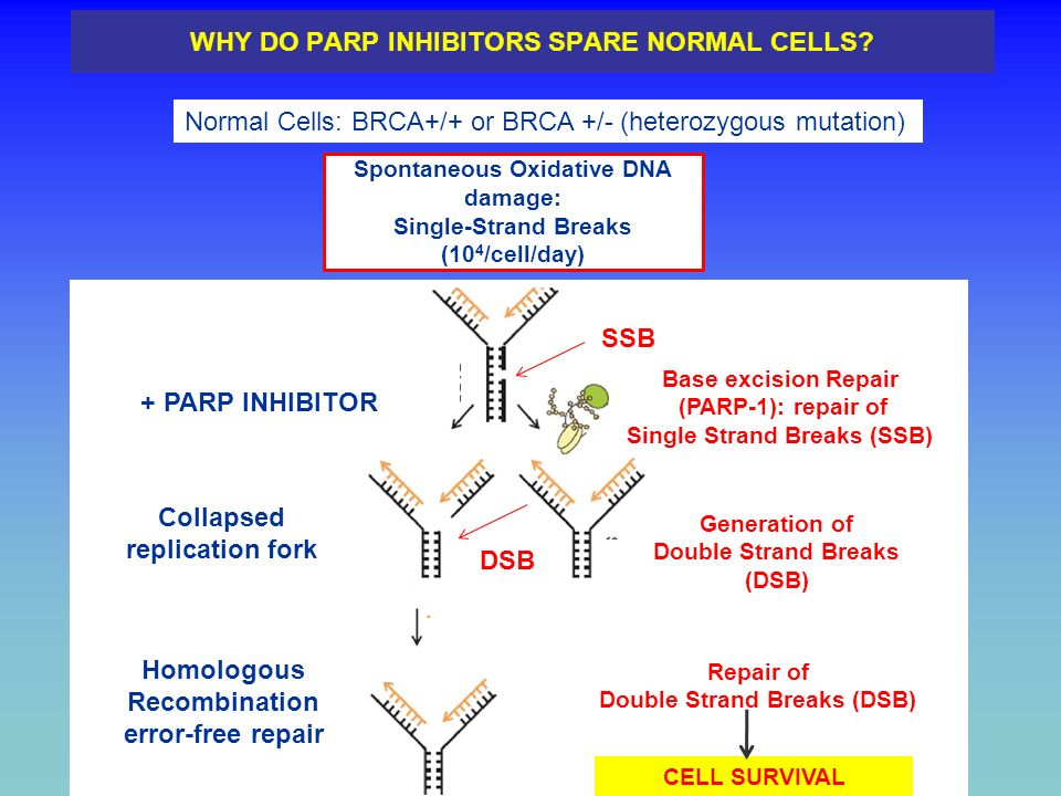 WHY DO PARP INHIBITORS SPARE NORMAL CELLS