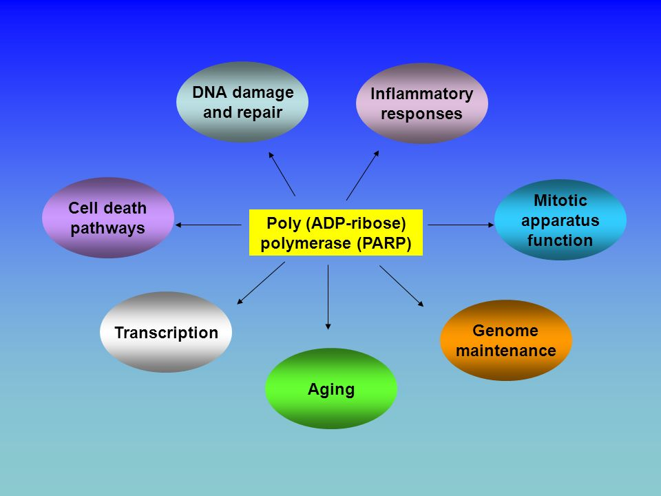 DNA damageand repair. Inflammatory. responses. Cell death. pathways. Mitotic. apparatus. function. Poly (ADP-ribose)