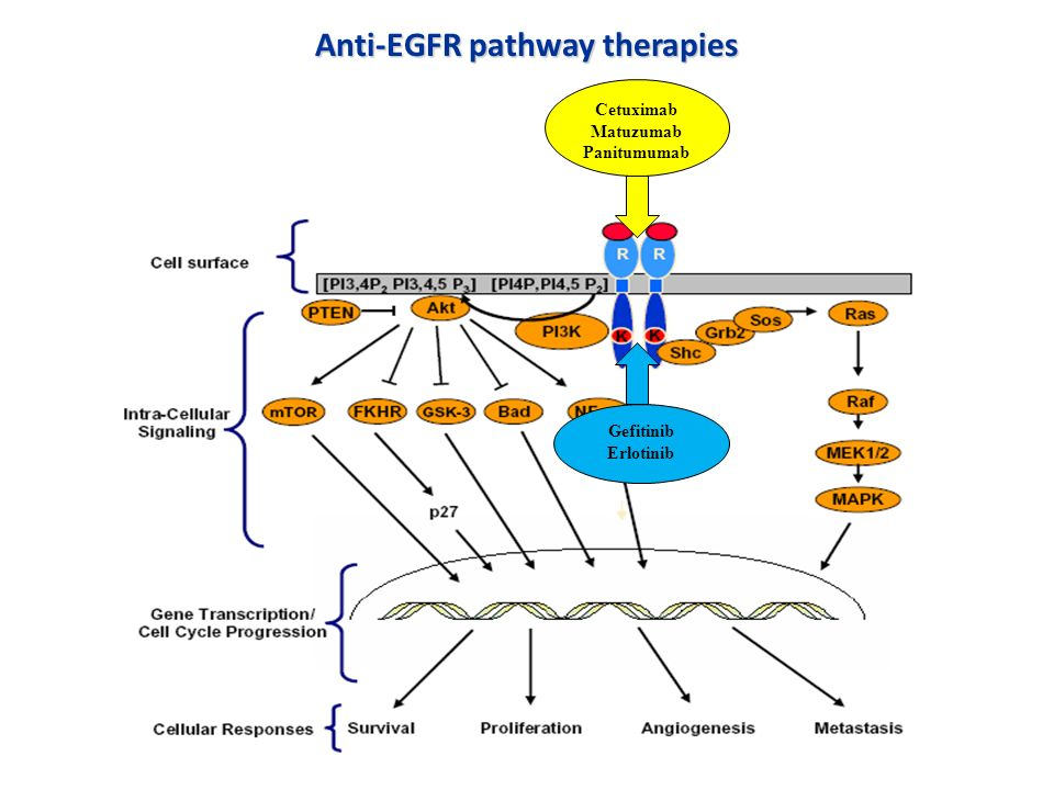 Anti-EGFR pathway therapies