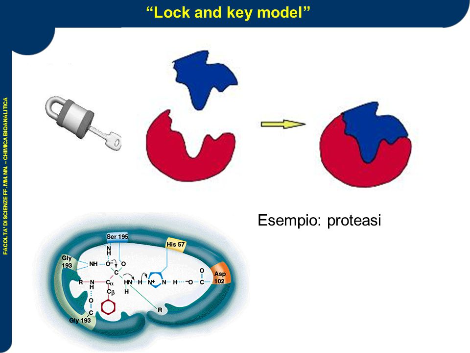 Lock and key model Esempio: proteasi