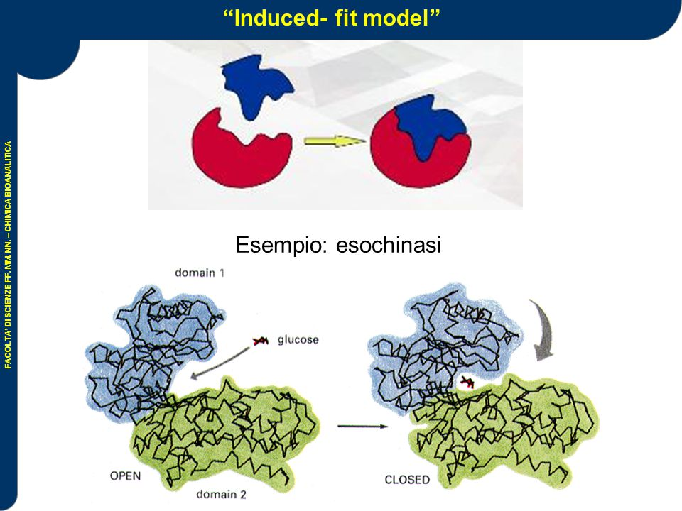 Induced- fit model Esempio: esochinasi
