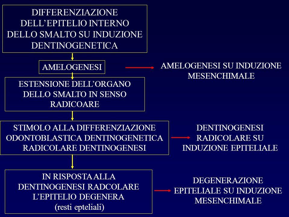 DIFFERENZIAZIONE DELL'EPITELIO INTERNO DELLO SMALTO SU INDUZIONE DENTINOGENETICA