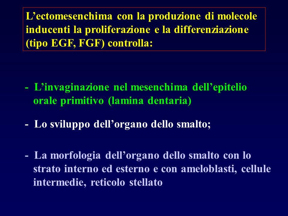 L'ectomesenchima con la produzione di molecole