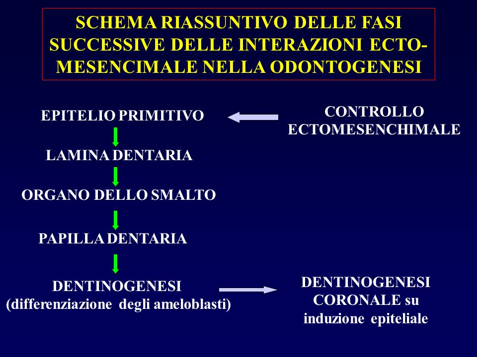 SCHEMA RIASSUNTIVO DELLE FASI SUCCESSIVE DELLE INTERAZIONI ECTO-MESENCIMALE NELLA ODONTOGENESI