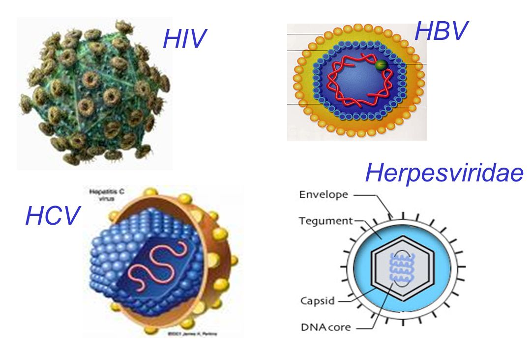 HBV HIV Herpesviridae HCV