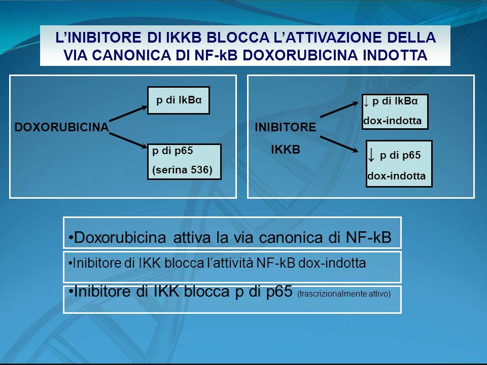 Doxorubicina attiva la via canonica di NF-kB