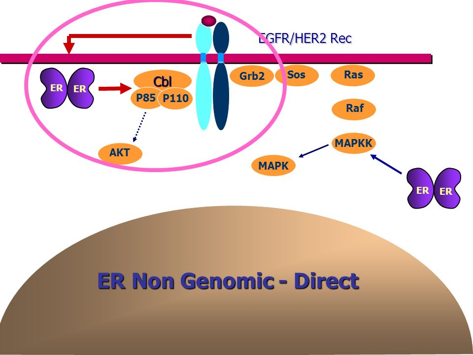 ER Non Genomic - Direct EGFR/HER2 Rec Cbl Grb2 Sos Ras P85 P110 Raf