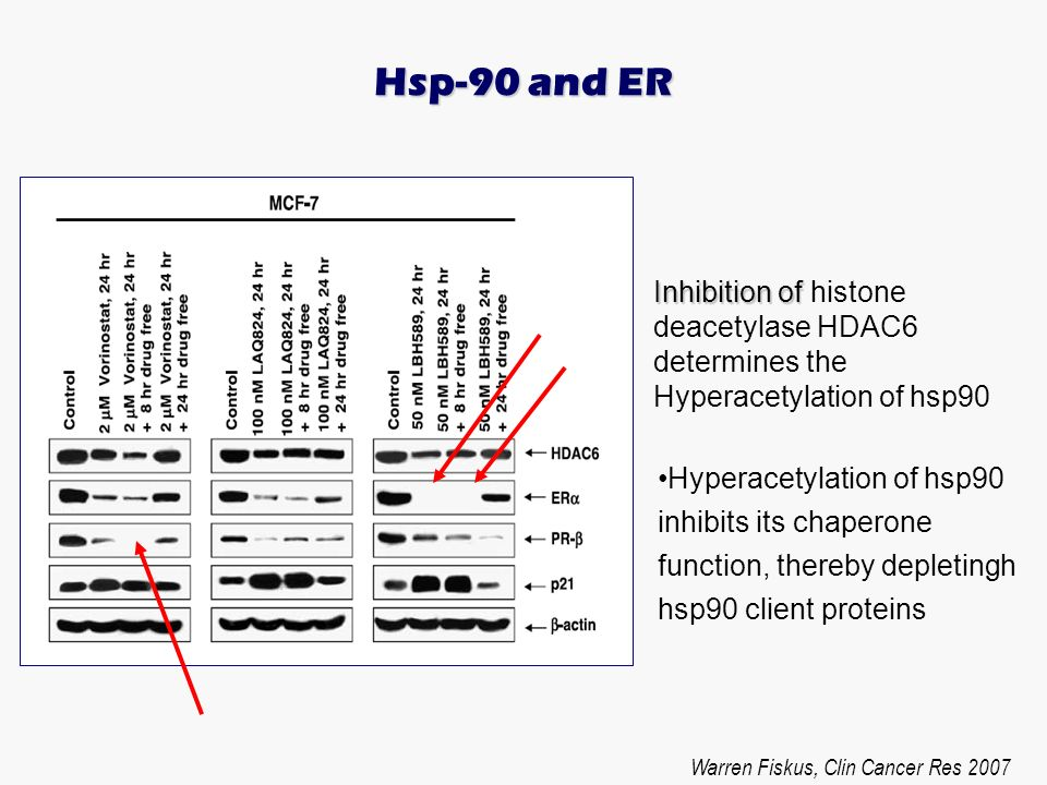 Hsp-90 and ERInhibition of histone deacetylase HDAC6 determines the Hyperacetylation of hsp90.