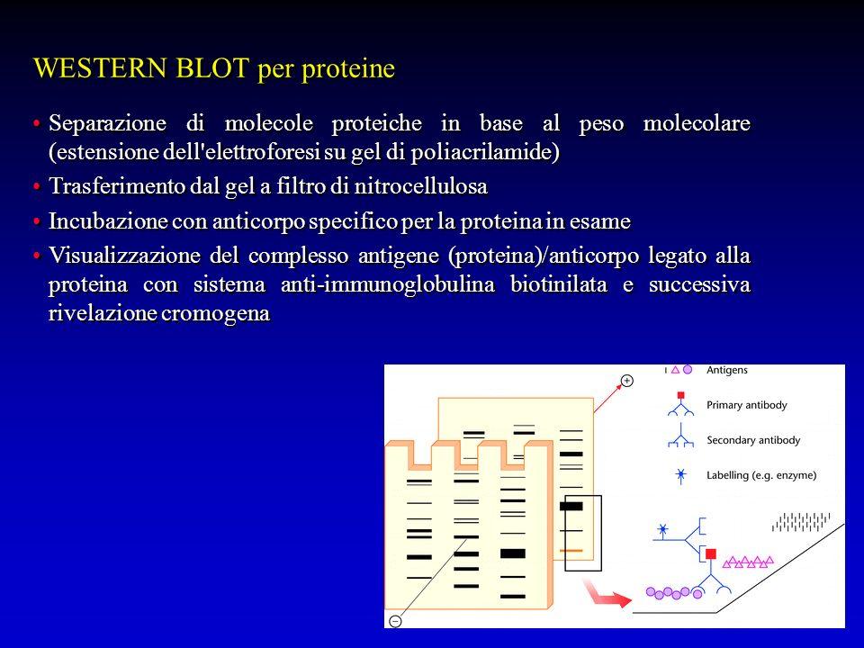 WESTERN BLOT per proteine