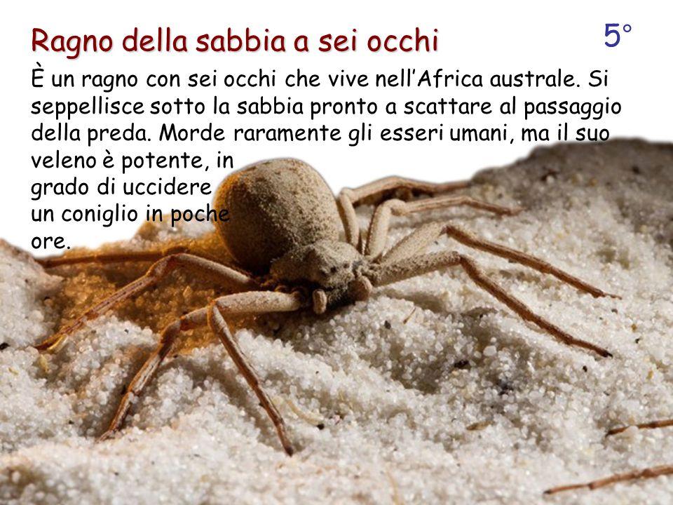 Ragno della sabbia a sei occhi