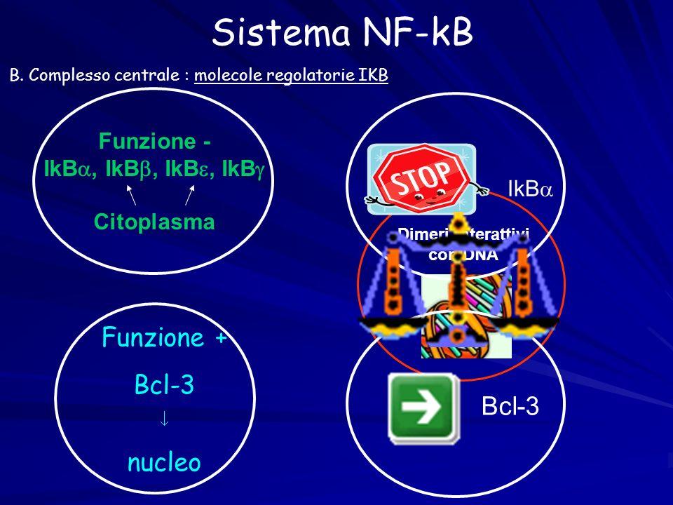 B. Complesso centrale : molecole regolatorie IKB