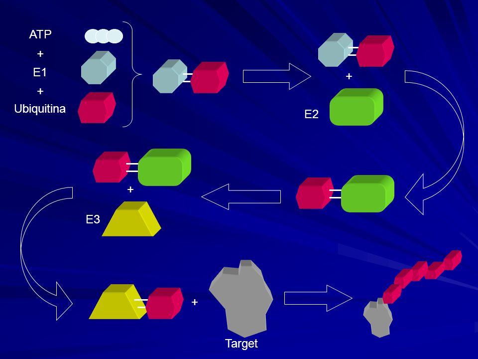 ATP + E1 + + Ubiquitina E2 + E3 Target +