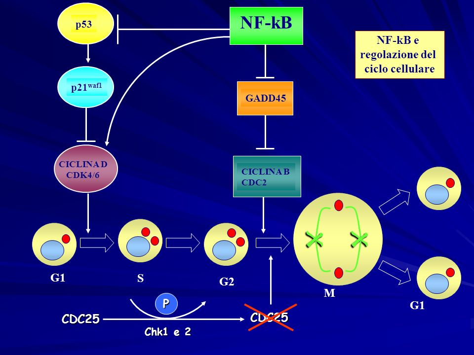 x NF-kB NF-kB e regolazione del ciclo cellulare G1 M S G1 G2 CDC25 P