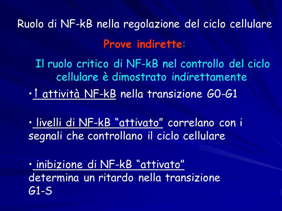 Ruolo di NF-kB nella regolazione del ciclo cellulare