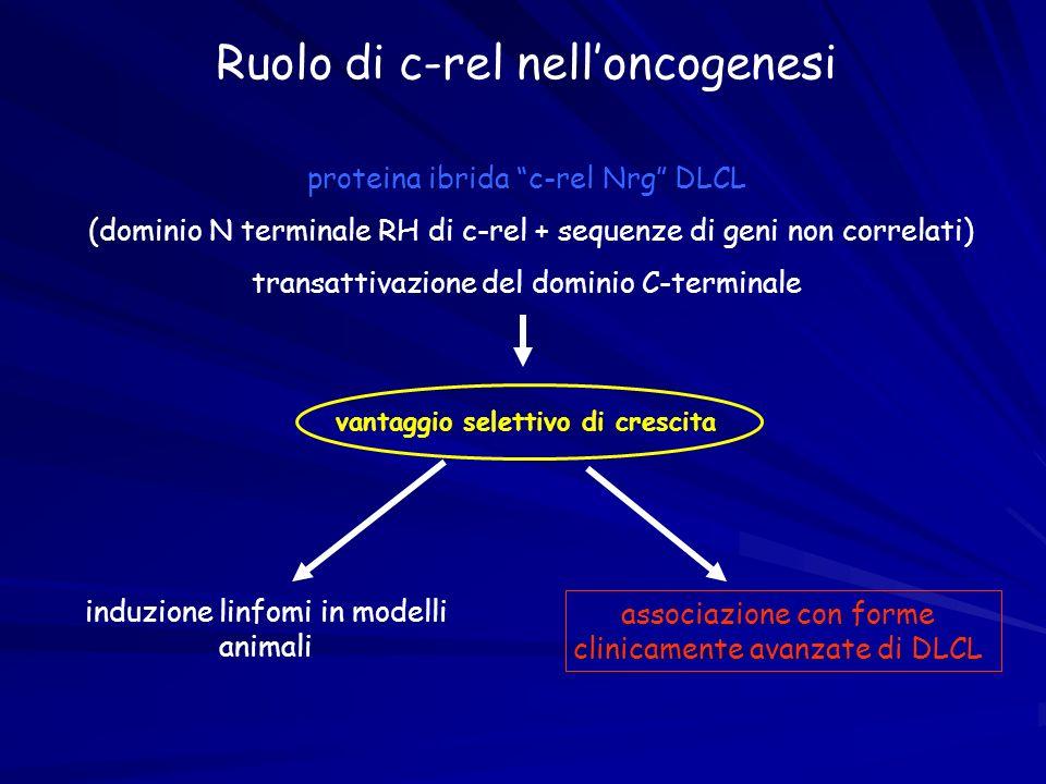 Ruolo di c-rel nell'oncogenesi