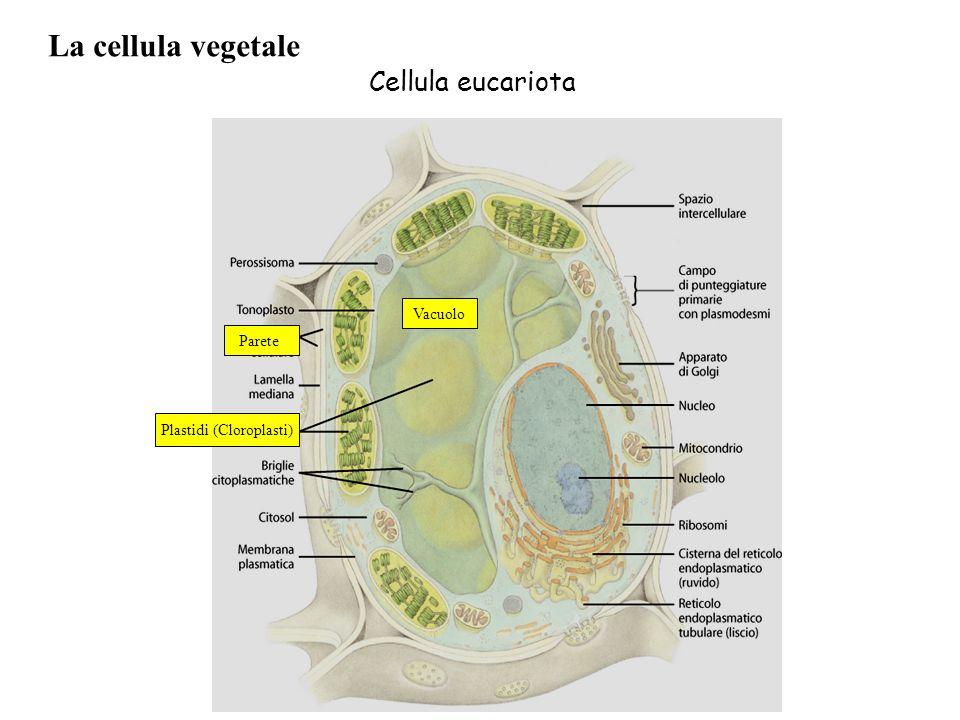 Plastidi (Cloroplasti)