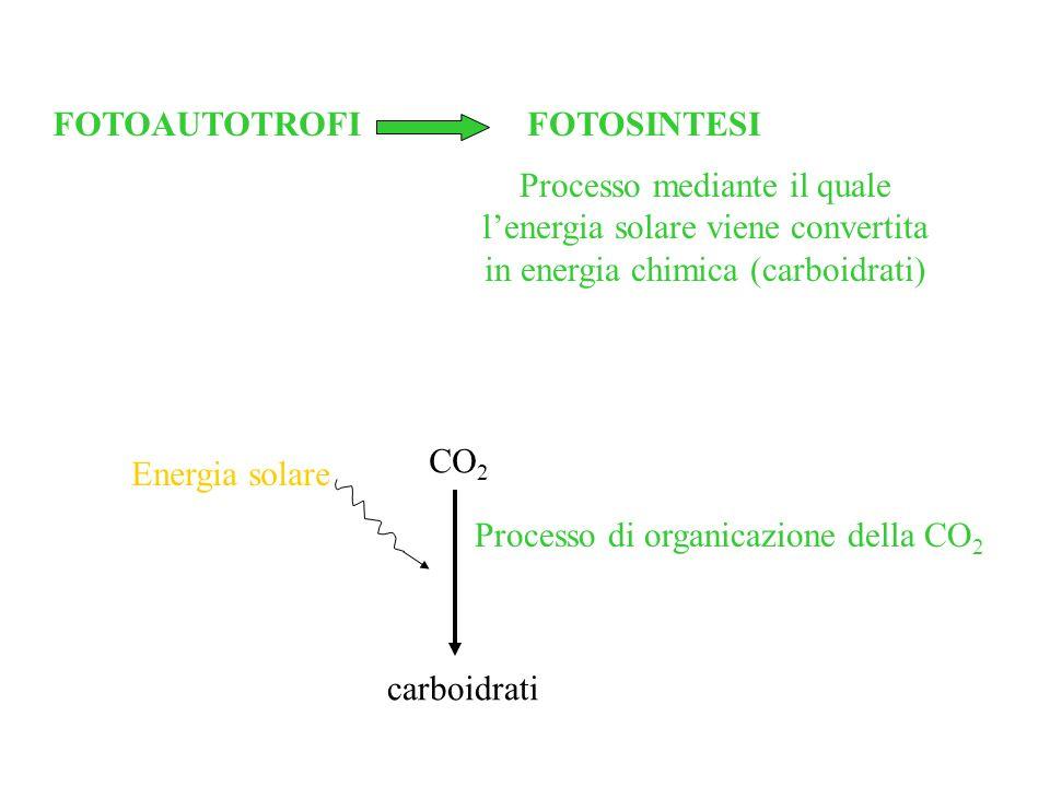 FOTOAUTOTROFI FOTOSINTESI. Processo mediante il quale l'energia solare viene convertita in energia chimica (carboidrati)