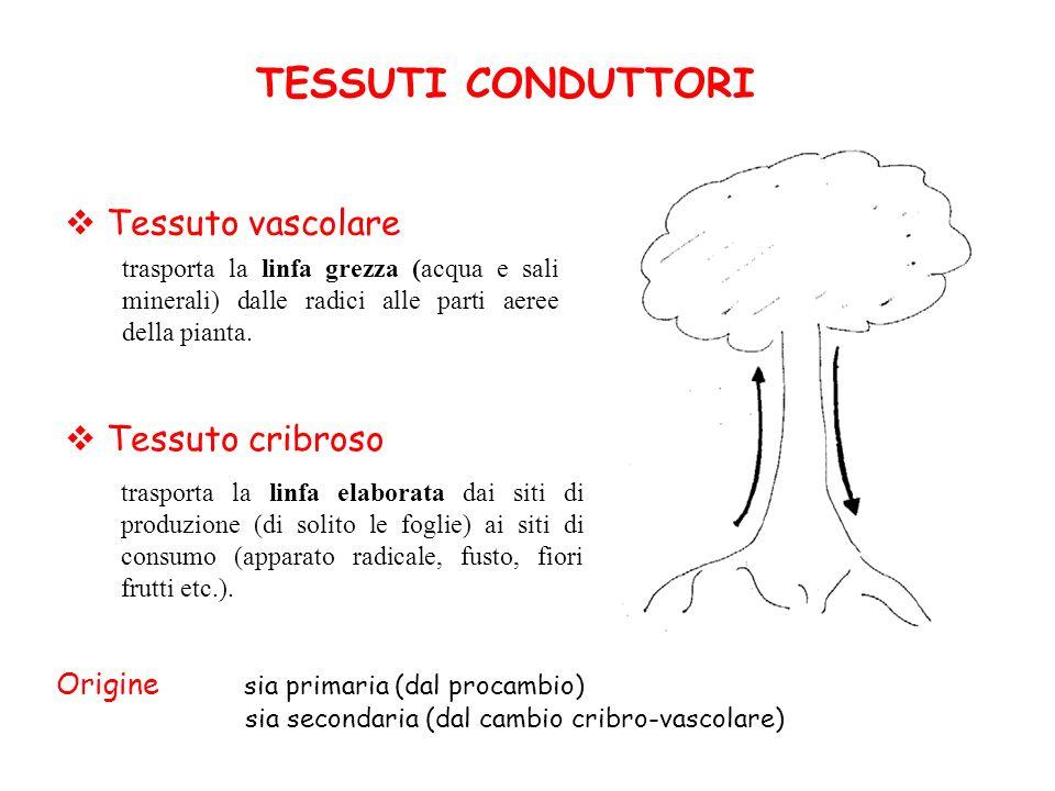 TESSUTI CONDUTTORI Tessuto vascolare Tessuto cribroso