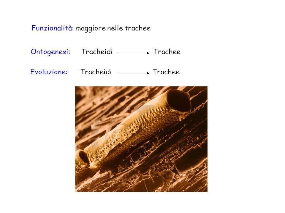 Funzionalità: maggiore nelle trachee