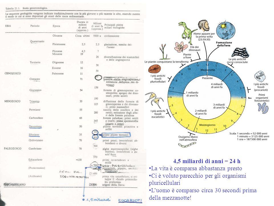 4,5 miliardi di anni = 24 hLa vita è comparsa abbastanza presto. Ci è voluto parecchio per gli organismi pluricellulari.
