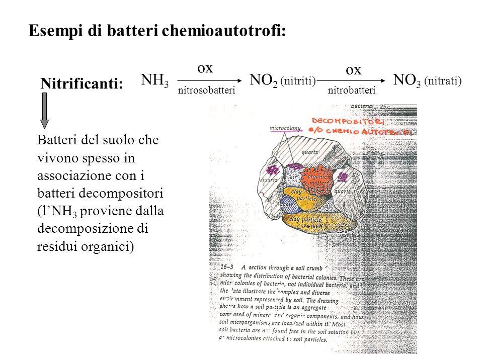 Esempi di batteri chemioautotrofi: