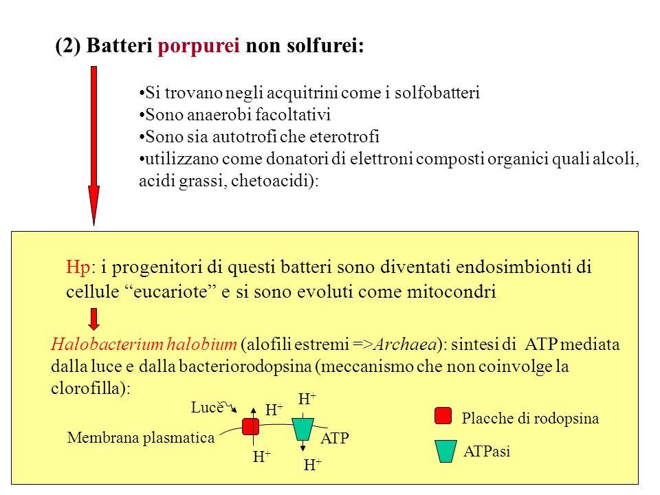 (2) Batteri porpurei non solfurei: