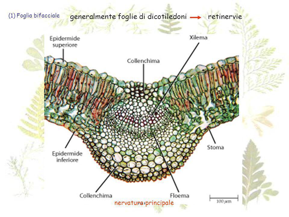 generalmente foglie di dicotiledoni retinervie