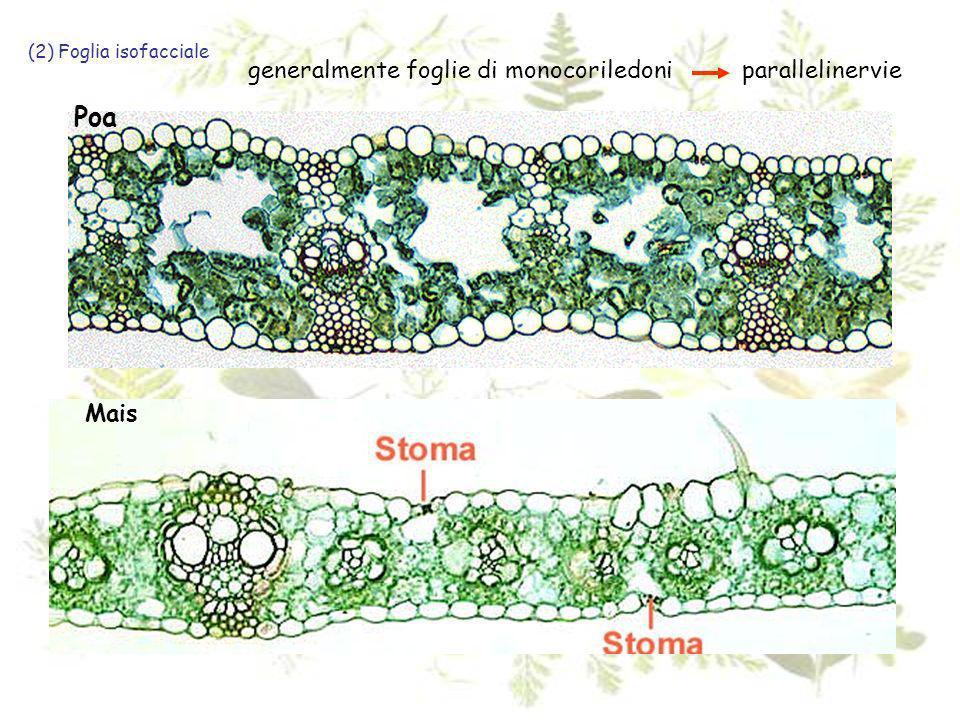 Poa generalmente foglie di monocoriledoni parallelinervie Mais