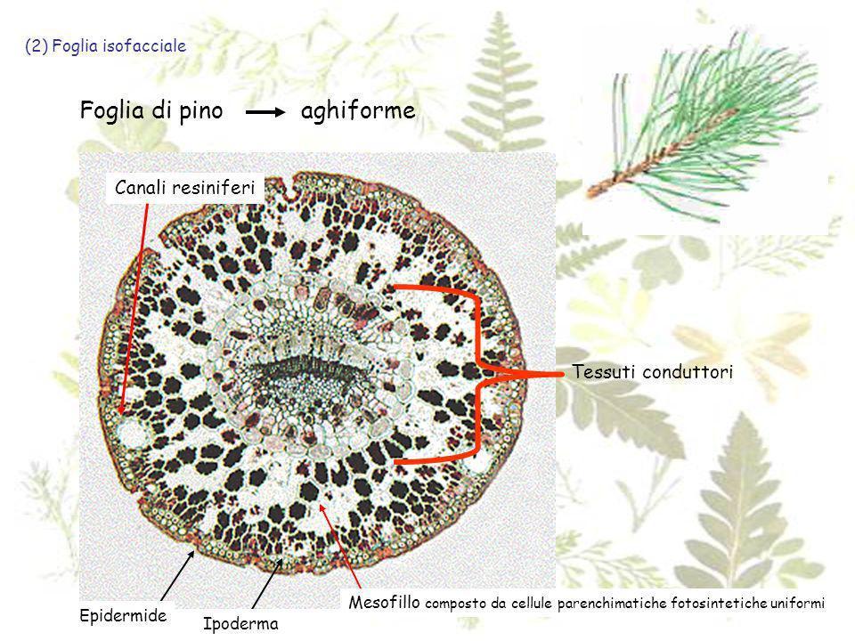 Foglia di pino aghiforme Canali resiniferi Tessuti conduttori