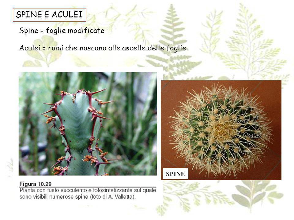 SPINE E ACULEI Spine = foglie modificate