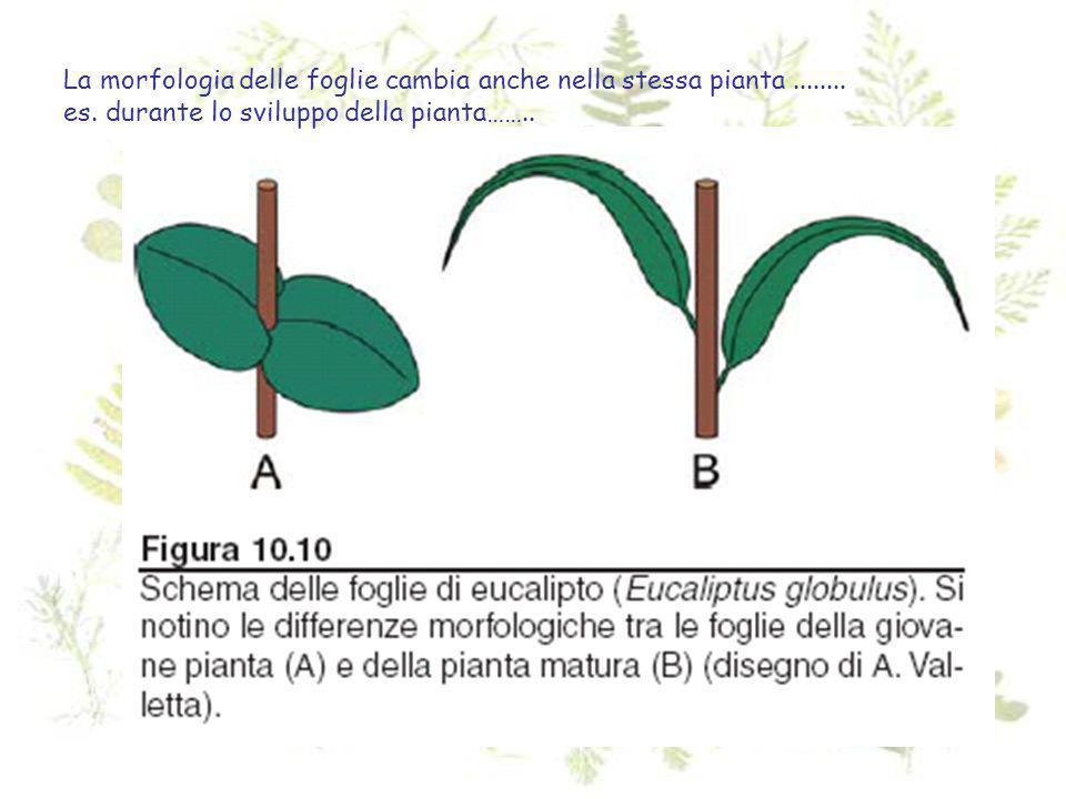 La morfologia delle foglie cambia anche nella stessa pianta ........