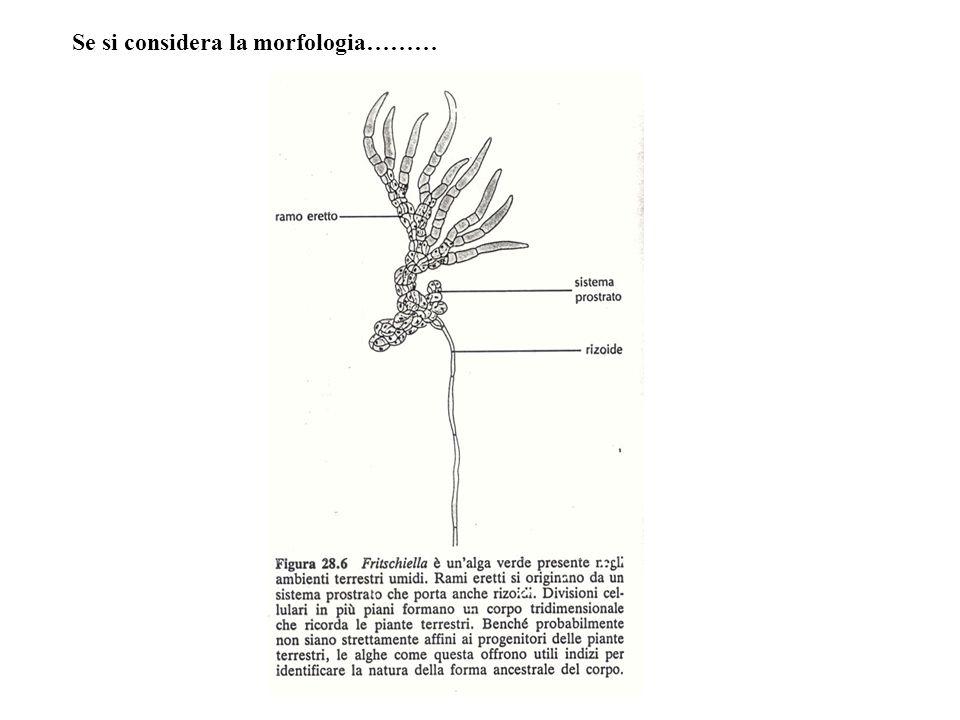 Se si considera la morfologia………