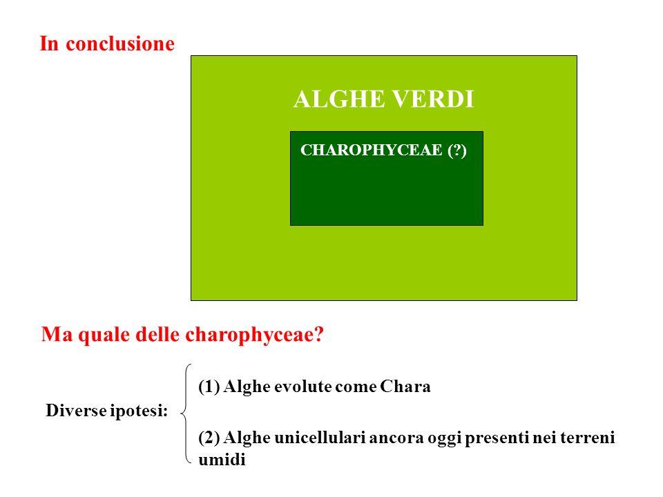 ALGHE VERDI In conclusione Ma quale delle charophyceae