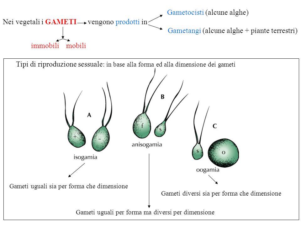 Nei vegetali i GAMETI vengono prodotti in Gametocisti (alcune alghe)
