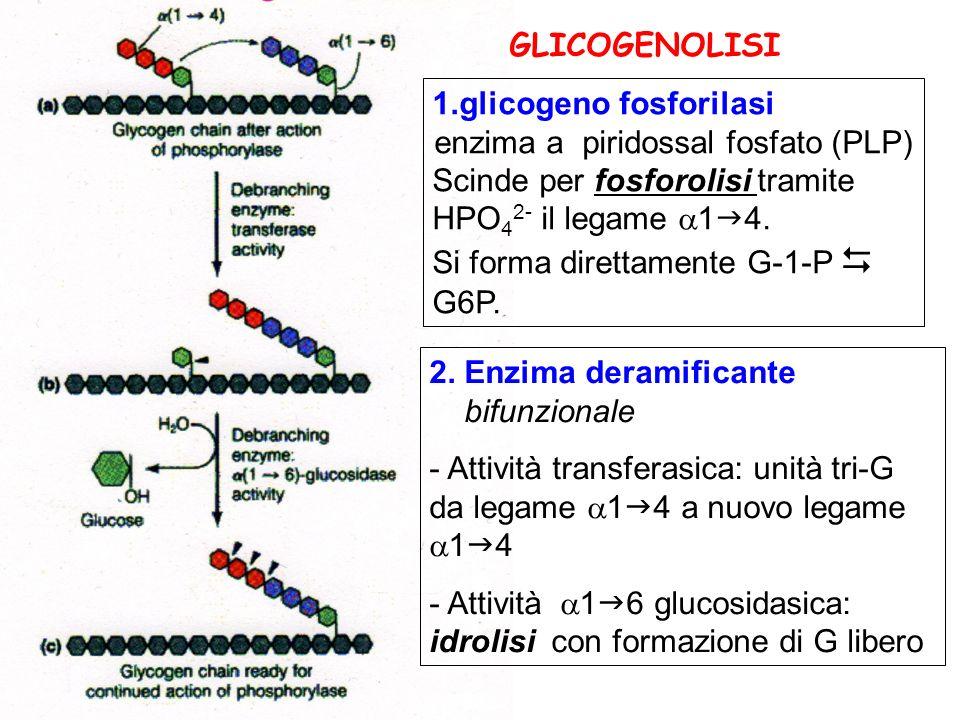 GLICOGENOLISI glicogeno fosforilasi.