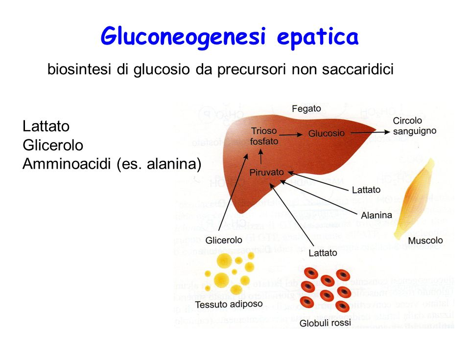 Gluconeogenesi epatica