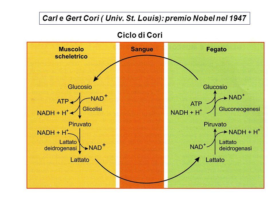 Carl e Gert Cori ( Univ. St. Louis): premio Nobel nel 1947
