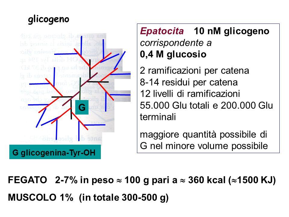Epatocita 10 nM glicogeno corrispondente a 0,4 M glucosio