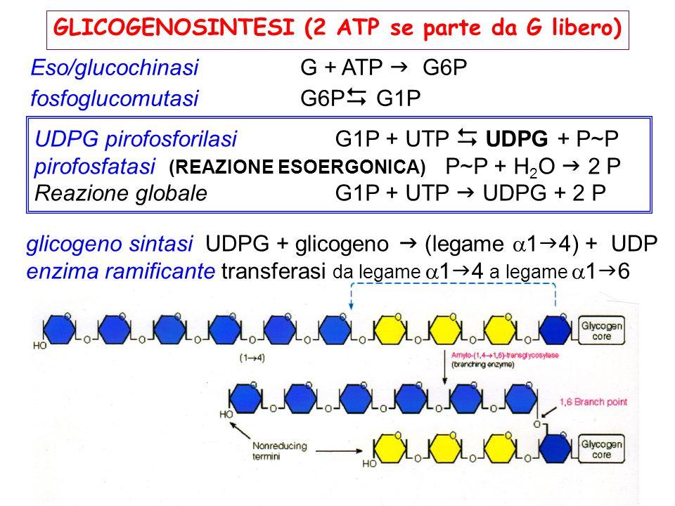 GLICOGENOSINTESI (2 ATP se parte da G libero)