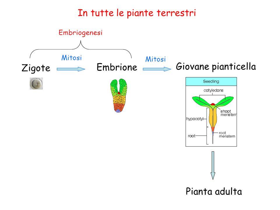 In tutte le piante terrestri