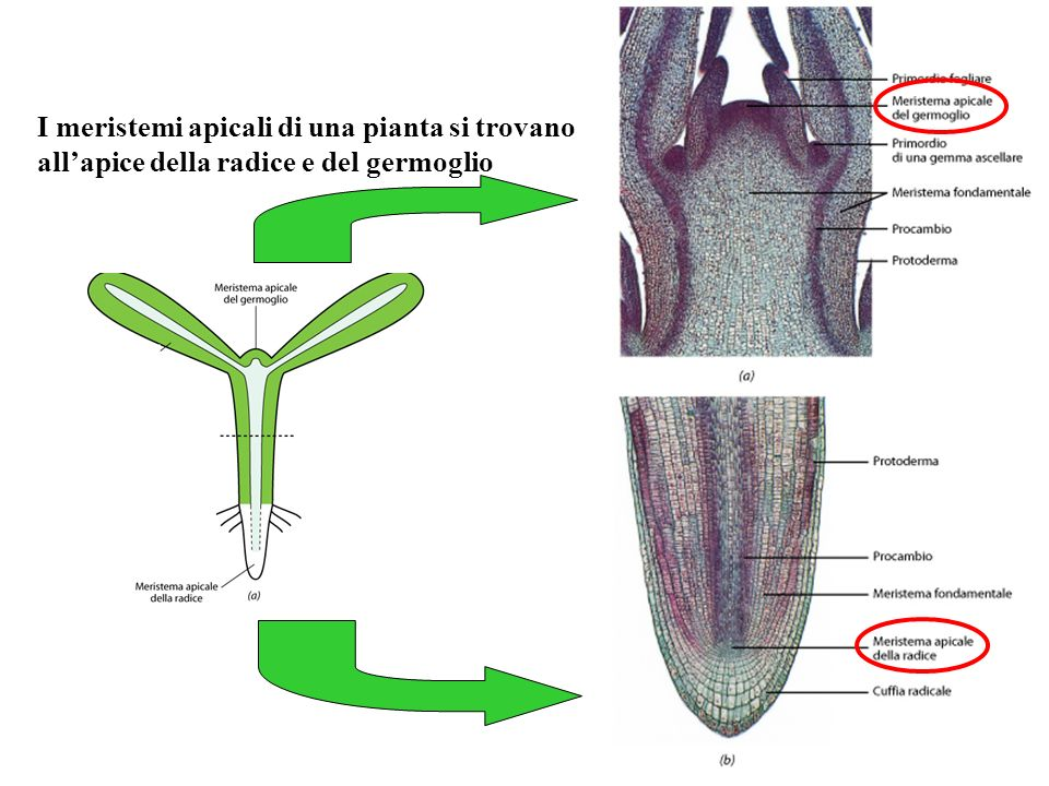 I meristemi apicali di una pianta si trovano all'apice della radice e del germoglio