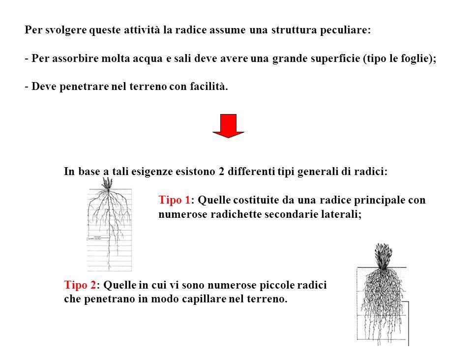 Per svolgere queste attività la radice assume una struttura peculiare: