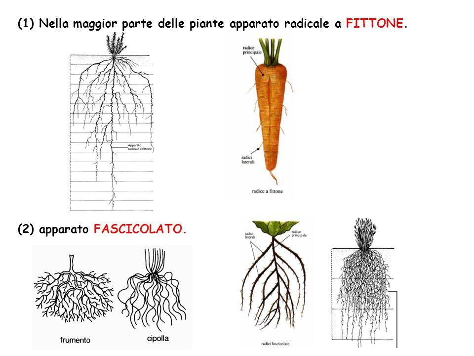 (1) Nella maggior parte delle piante apparato radicale a FITTONE.