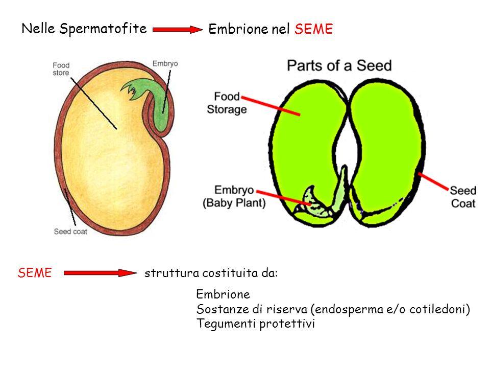 Nelle Spermatofite Embrione nel SEME SEME struttura costituita da: