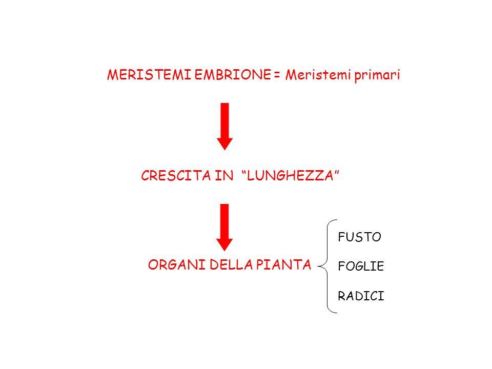 MERISTEMI EMBRIONE = Meristemi primari