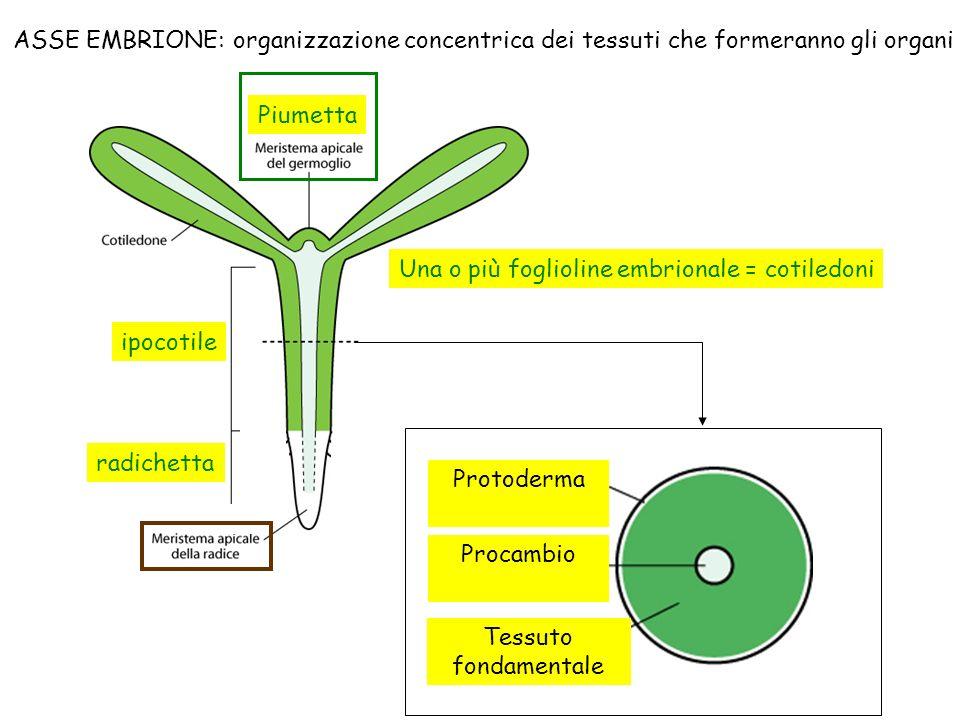 ASSE EMBRIONE: organizzazione concentrica dei tessuti che formeranno gli organi