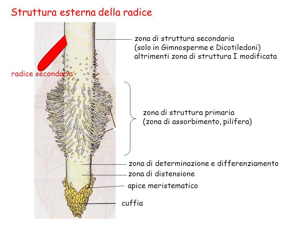 Struttura esterna della radice