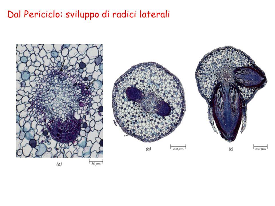 Dal Periciclo: sviluppo di radici laterali