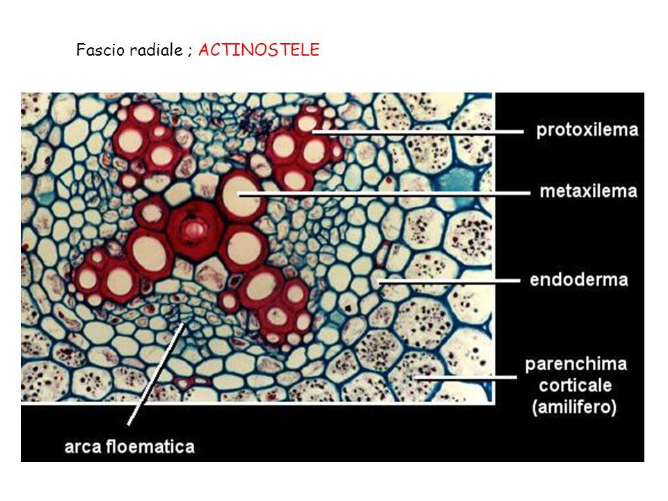 Fascio radiale ; ACTINOSTELE
