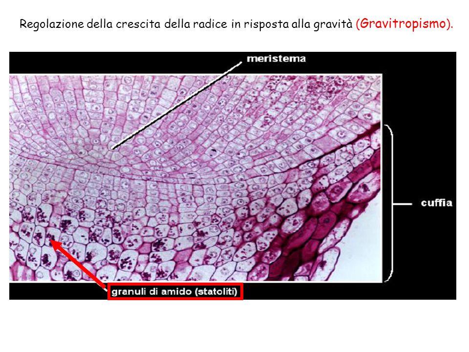 Regolazione della crescita della radice in risposta alla gravità (Gravitropismo).